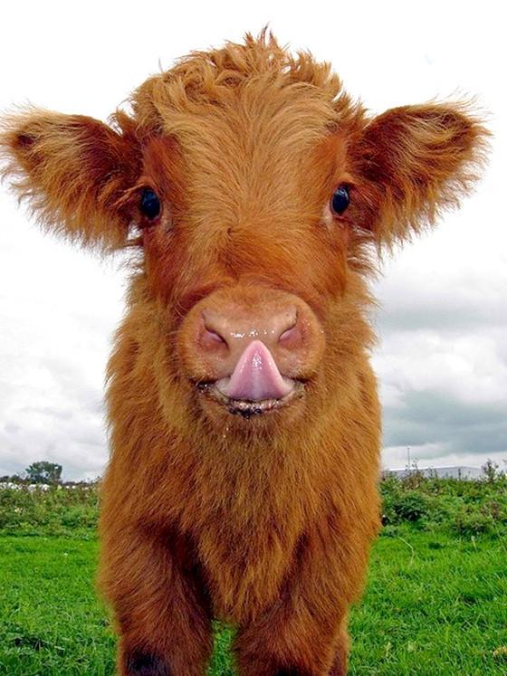 Cows can be cute too! - Imgur