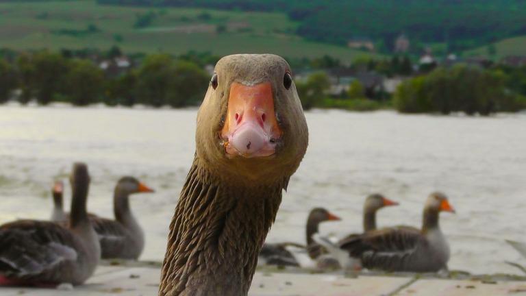 goose-178143_1280