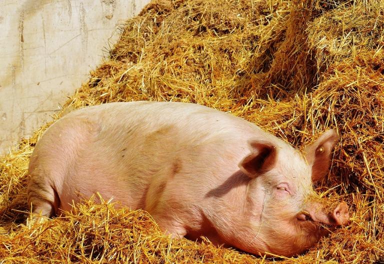 pig-1331337_1280
